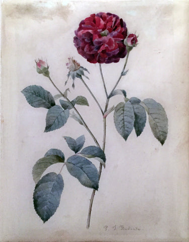 Pierre-Joseph Redouté  (Belgian, 1759-1840), Study of a Red Rose