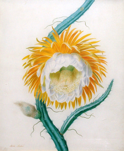 Adèle Riché (French, 1791-1887), Queen of the Night or Night-Flowering Cereus