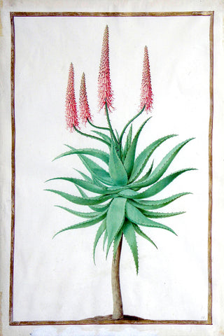 Nicolas Robert (French, 1614-1685), An Aloe with succulent, serrated leaves on a stem with four corymbs of red flowers