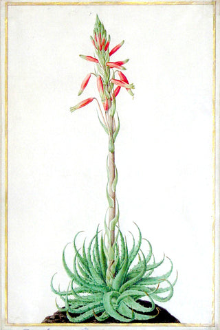 Nicolas Robert (French, 1614-1685), An aloe with succulent, serrated leaves and one corymb of a red flower
