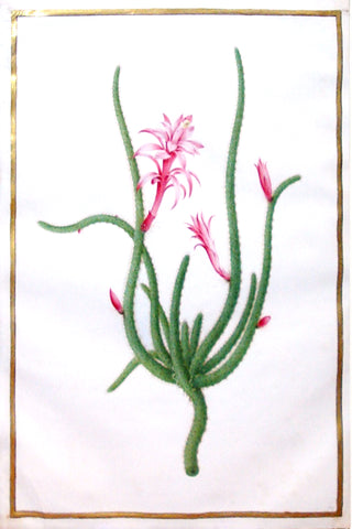 Nicolas Robert (French, 1614-1685), Untitled (Cactus with pink blooms)