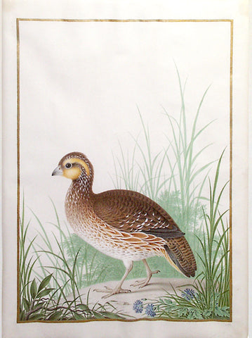 Nicolas Robert (French, 1614-1685), Northern Bobwhite (Female)