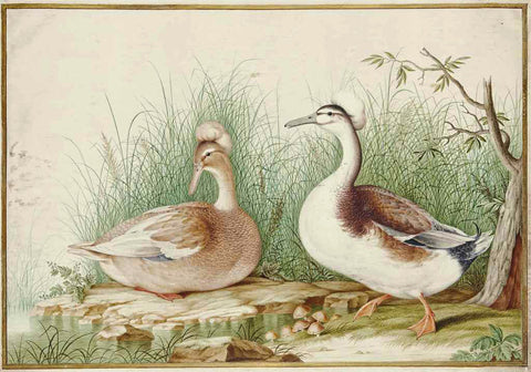 Nicolas Robert (French, 1614-1685), Pair of Crested Ducks [Couple de canards huppés (Lophonetta specularioides)]
