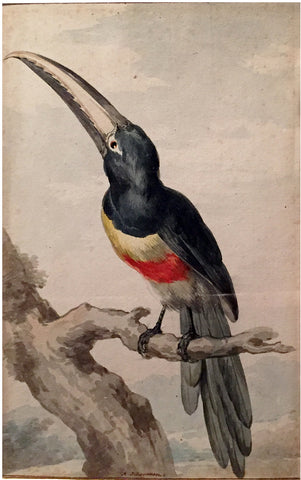 Aert Schouman (Dutch, 1710-1792), A Black-necked Arcari