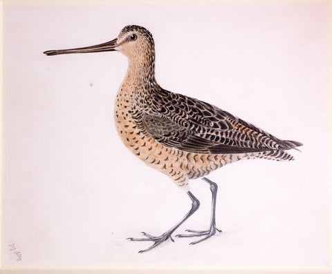 "Prideaux John Selby (British, 1788-1867), ""Brown Snipe, Summer Plummage"" (Brown Longbeak)"