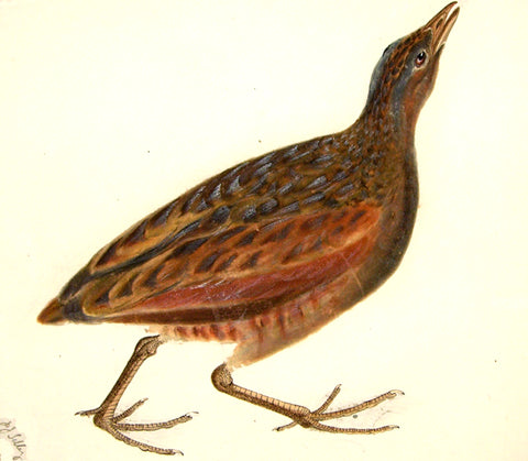 "Prideaux John Selby (British, 1788-1867), ""Common Crake, Male"" (Meadow or Corn Crake)"