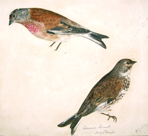 "Prideaux John Selby (British, 1788-1867), ""Common Linnet, Male and Female"""