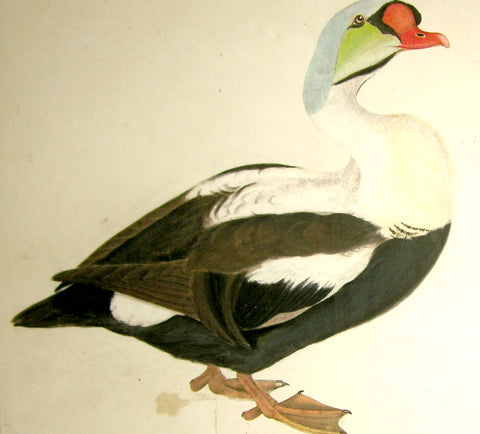 "Prideaux John Selby (British, 1788-1867), ""King Eider Duck"""