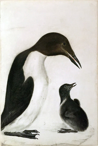 "Prideaux John Selby (British, 1788-1867), ""A Guillemot and Chick"""