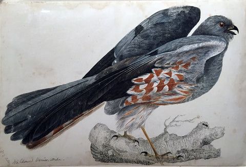 "Prideaux John Selby (British, 1788-1867), ""Ash Coloured Harrier, male"""