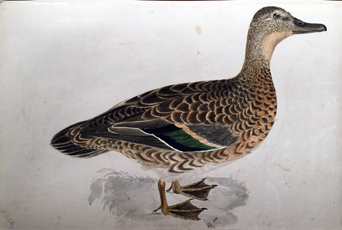 "Prideaux John Selby (British, 1788-1867), ""Bimaculated Teal, Female"""