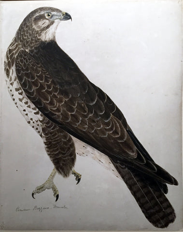 "Prideaux John Selby (British, 1788-1867), ""Common Buzzard, Female"""