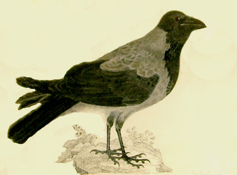 "Prideaux John Selby (British, 1788-1867), ""Hooded Crow"""