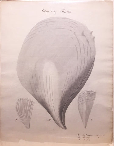 British, 19th-century, Genus 17 Pinna Rotunda or Giant