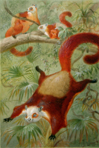 Pierre Jacques Smit (Dutch, 1863-1960) Red and White Giant Flying Squirrel (Pestaurista alborufus)