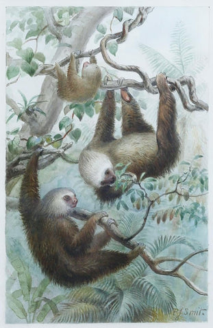 Pierre Jacques Smit (Dutch, 1863-1960) Hoffmann's Two-toed Sloth (Choloepus hoffmanni)