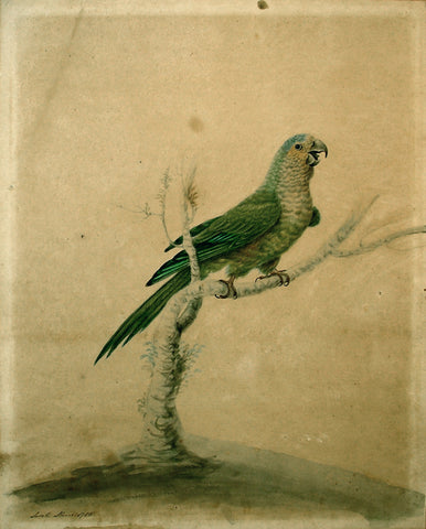 Sarah Stone (British, 1760 - 1844), Small Green Parrot