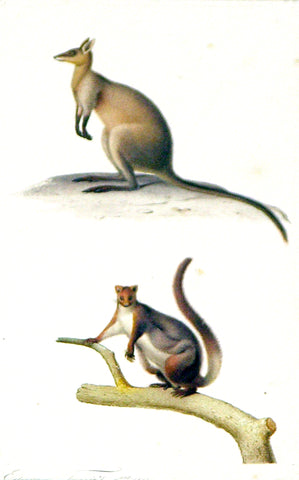 Edouard Travies (French, 1809 - 1870) Marsupial Study