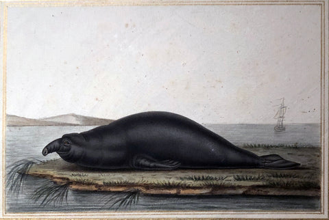 Antoine Charles Vauthier (French, 1790-1879) Elephant Sea Lion