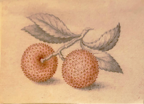 ATTRIBUTED TO Pieter Withoos (Dutch, 1654-1693), Pink Spiked Nut