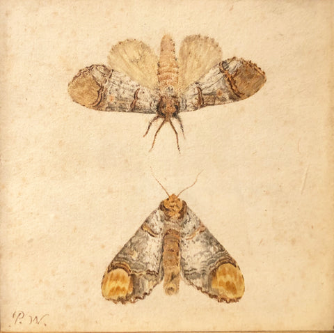 Pieter Withoos (Dutch, 1654-1693), Study of Two Moths