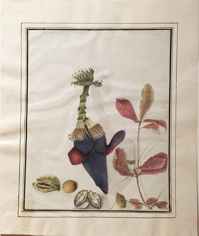 Company School (Nineteenth-Century), [Fruiting Banana Tree with Flower and Seed]