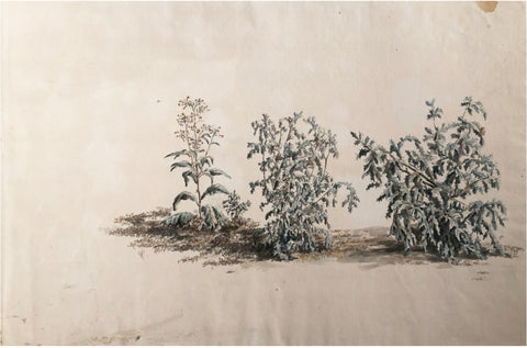 Company School (Nineteenth-Century), [Study of Three Bushes]