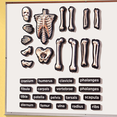 3-D Skeleton Demonstration Magnets