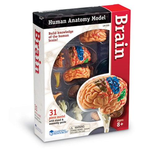 Anatomy Brain Human Body Model - EducationalLearningGames.com