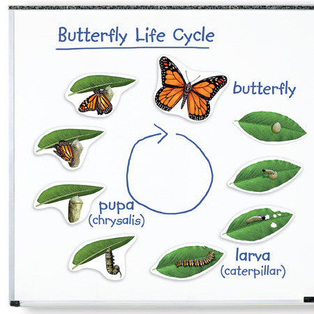 Giant Magnetic Butterfly Life Cycle - EducationalLearningGames.com
