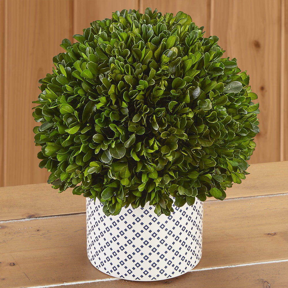 Boxwood Ball Topiary in Blue and White Ceramic Pot, Short