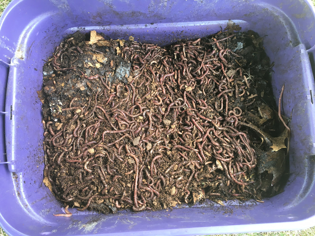How Many Composting Worms Needed to Start a Worm Bin!