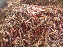 100  Red Wiggler Worms - Buckeye Organics