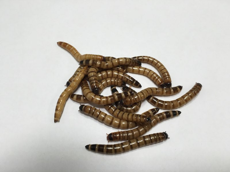 500 ct Superworms - Buckeye Organics