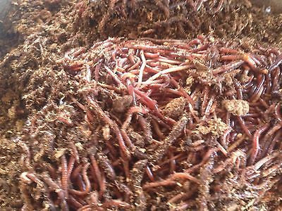 1Lb Red Wiggler Worms