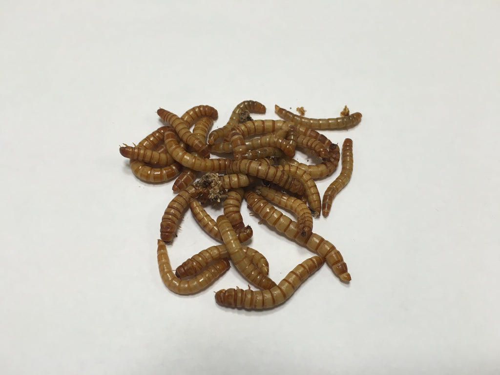 4000 ct Live Mealworms