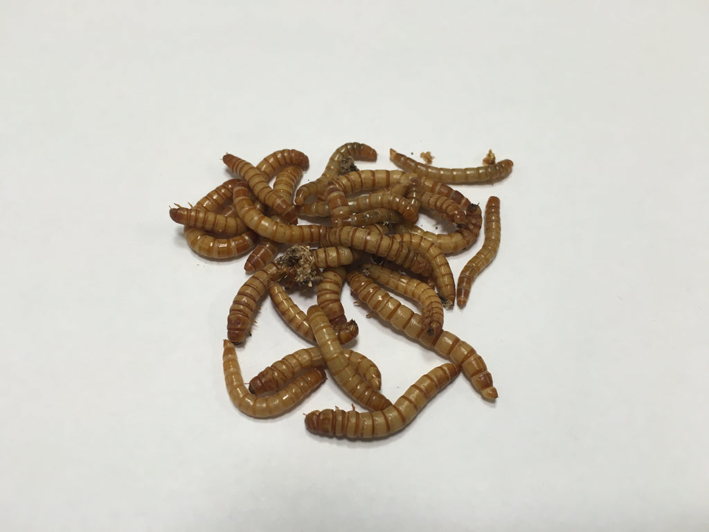 1000 ct. Mealworms