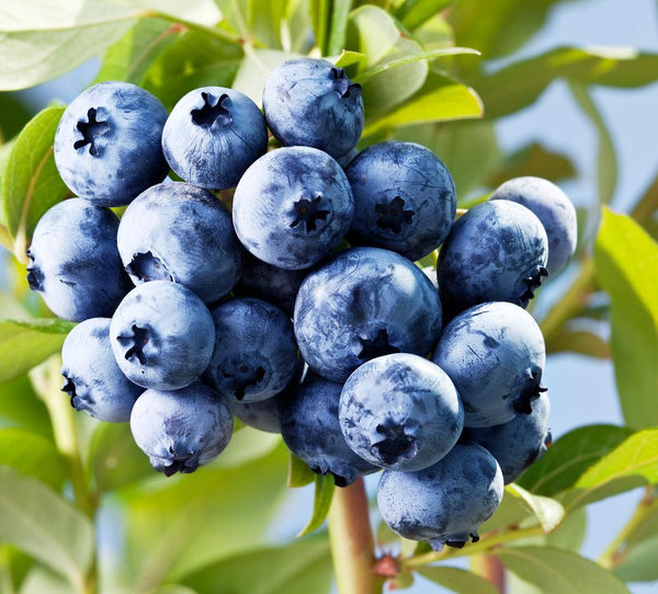 Blueberry Skin Benefits & Improvements