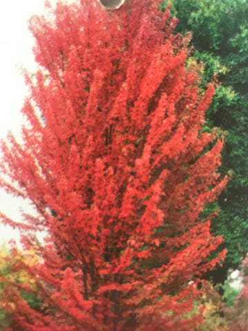 Acer Freemannii Jeffersred