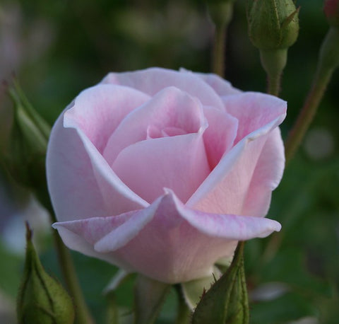 Blushing Pink Iceberg 3' Standard Rose NR 200mm
