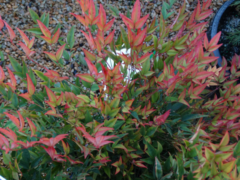 Nandina Moonbay 200mm
