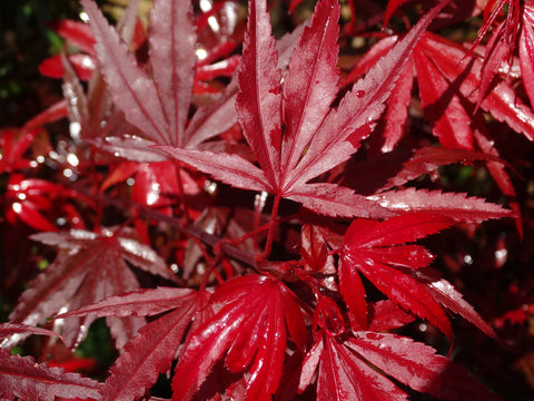 Acer palmatum Shaina (dwarf Japanese maple) 250mm pot