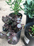 Succulent (4 assorted)