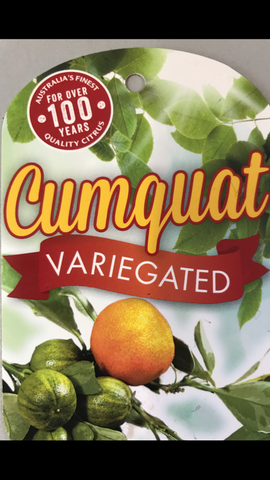 Cumquat Varigated 200mm