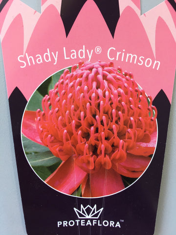 Waratah 'Shady Lady' Crimson 140mm Pot