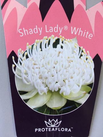 Waratah 'Shady Lady' White 140mm Pot