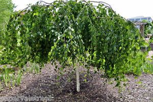 Silver Birch Std Weeping Tall 1.8mt