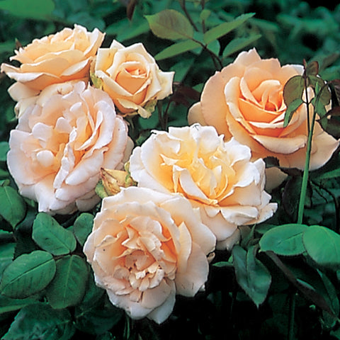 Apricot Nectar bush rose 200mm pot