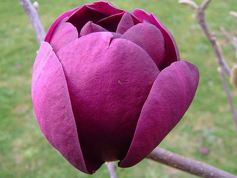 Magnolia Black Tulip 330mm (currently out of stock)