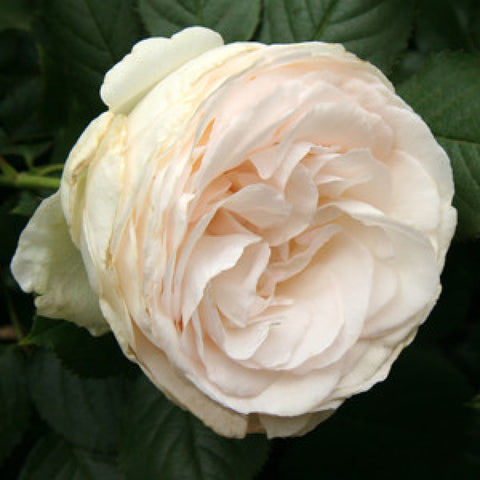 Blushing Pierre de Ronsard NR climbing rose 200mm